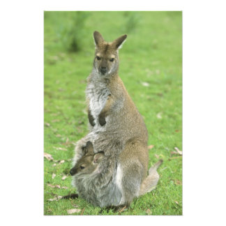 Rufogriseus de cuello rojo del Wallaby, del Macrop Fotografías