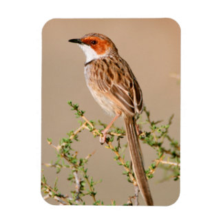 Rufous-Eared Warbler (Malcorus Pectoralis) Rectangular Photo Magnet