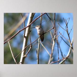 Rufous Female Hummingbird Poster