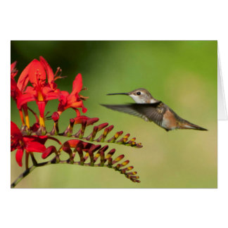Rufous Hummingbird at Lucifer Crocosmia Card