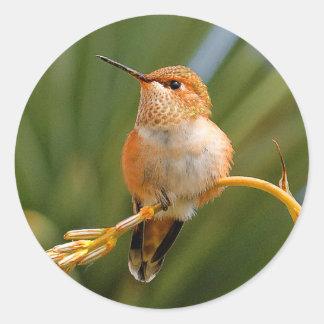 Rufous Hummingbird at Rest Classic Round Sticker
