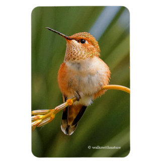 Rufous Hummingbird at Rest Magnet