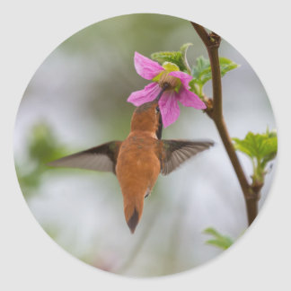 Rufous hummingbird at wild rose classic round sticker