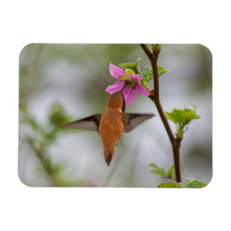 Rufous hummingbird at wild rose magnet