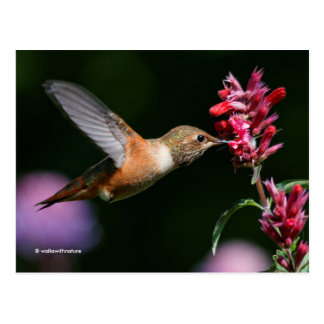 Rufous Hummingbird Feeding on the Anise Hyssop Postcard
