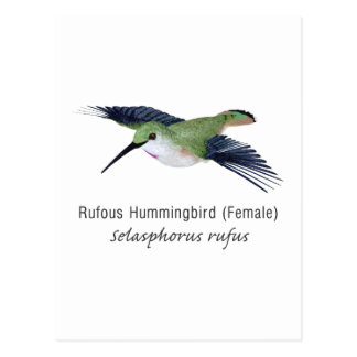 Rufous Hummingbird female with Name Postcard