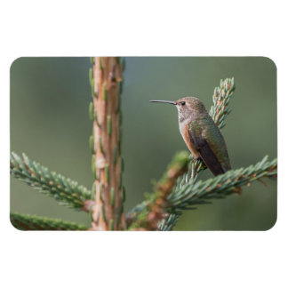 Rufous Hummingbird Large Photo Magnet