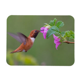 Rufous Hummingbird on Wild Rose Magnet