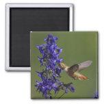 Rufous Hummingbird, Selasphorus rufus, female 2 Inch Square Magnet