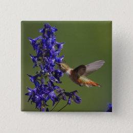 Rufous Hummingbird, Selasphorus rufus, female Button