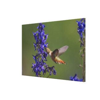 Rufous Hummingbird, Selasphorus rufus, female Canvas Print