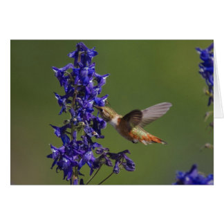 Rufous Hummingbird, Selasphorus rufus, female Card
