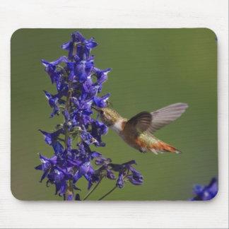 Rufous Hummingbird, Selasphorus rufus, female Mouse Pad