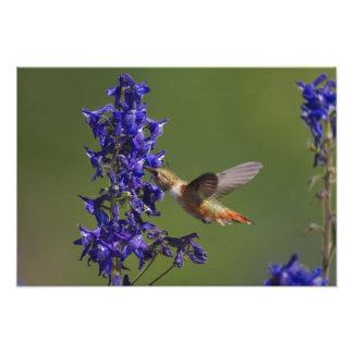 Rufous Hummingbird, Selasphorus rufus, female Photo Print