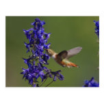 Rufous Hummingbird, Selasphorus rufus, female Postcard