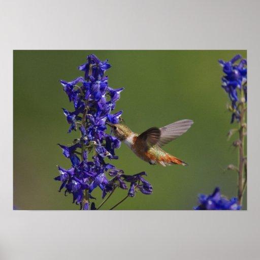 Rufous Hummingbird, Selasphorus rufus, female Poster
