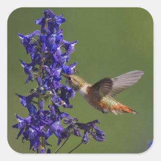 Rufous Hummingbird, Selasphorus rufus, female Square Sticker