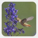Rufous Hummingbird, Selasphorus rufus, female Square Stickers