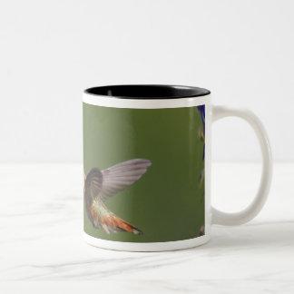 Rufous Hummingbird, Selasphorus rufus, female Two-Tone Coffee Mug