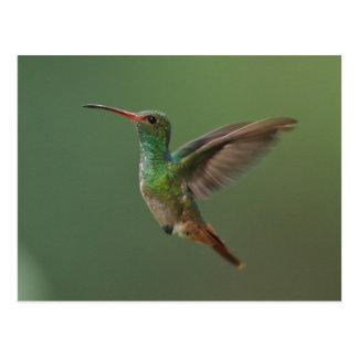 Rufous-tailed Hummingbird Postcard