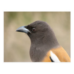 Postcard with Rufous Treepie design
