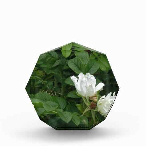 rugosa blanco de Rosa