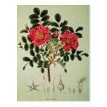 Rugosa de Rosa, de la 'flora Japonica Postal