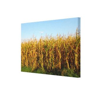 Rumania, campo del maíz listo para cortar impresiones en lienzo estiradas