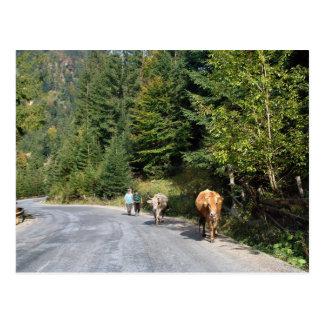 Rumania, el Moldavia, caminando las vacas Tarjeta Postal