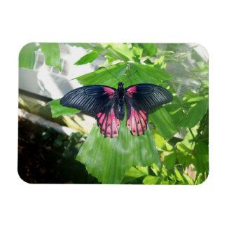 Rumanzovia Swallowtail - Female Magnet