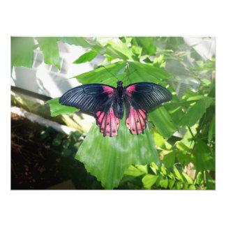 Rumanzovia Swallowtail - hembra Fotografías