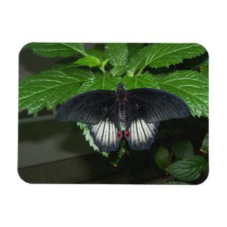 Rumanzovia Swallowtail - Male Magnet
