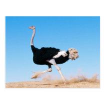 Run Ostrich Run Postcard