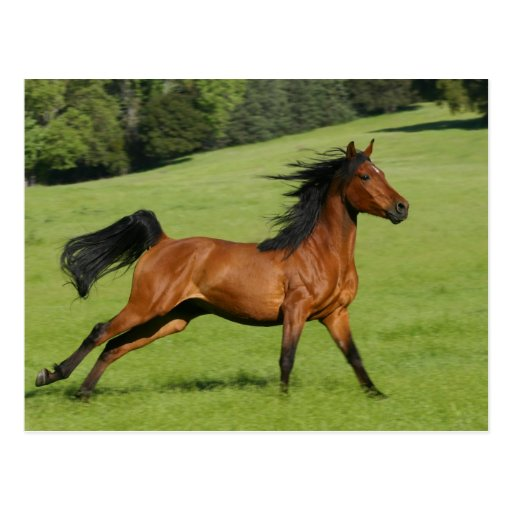 Running Arabian Horse Postcard Post Card
