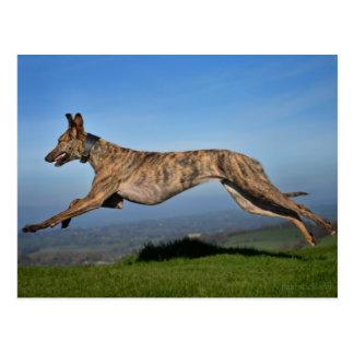 Running Brindled Lurcher Greyhound Cross Postcard