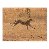 Running Cheetah Postcard