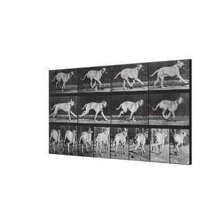 Running Dog, plate 707 from 'Animal Locomotion', 1 Canvas Print