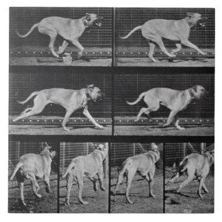 Running Dog, plate 707 from 'Animal Locomotion', 1 Ceramic Tile
