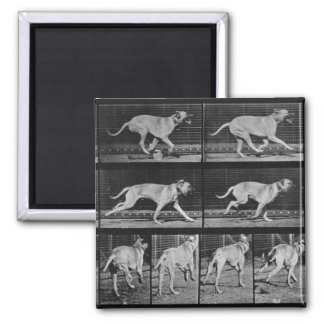 Running Dog, plate 707 from 'Animal Locomotion', 1 2 Inch Square Magnet