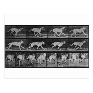 Running Dog, plate 707 from 'Animal Locomotion', 1 Postcard