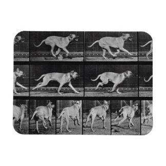 Running Dog, plate 707 from 'Animal Locomotion', 1 Rectangular Photo Magnet
