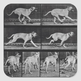 Running Dog, plate 707 from 'Animal Locomotion', 1 Square Sticker