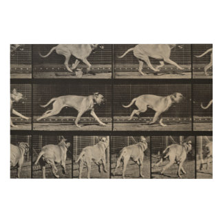 Running Dog, plate 707 from 'Animal Locomotion', 1 Wood Print