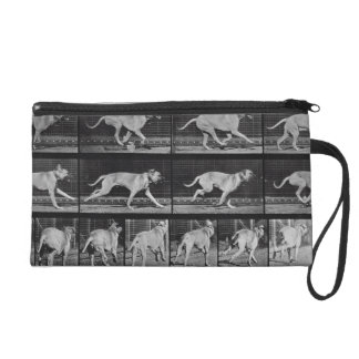 Running Dog, plate 707 from 'Animal Locomotion', 1 Wristlet