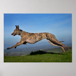 Running Greyhound Lurcher Poster