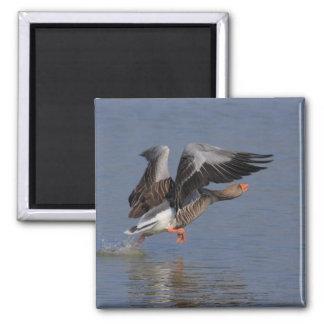 Running Greylag Goose Magnet