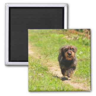 Running happy Dachshund Puppy 2 Inch Square Magnet