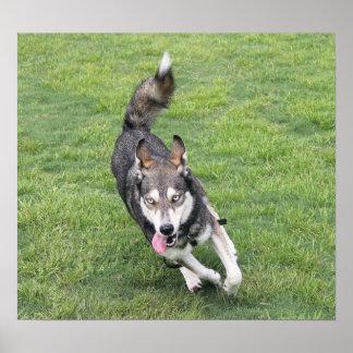 Running Husky Poster