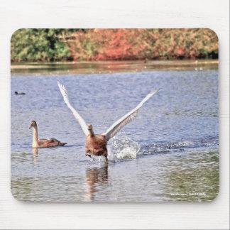 Running Mute Swan Wildlife Waterfowl Photo Mouse Pad