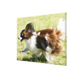 Running Papillon Stretched Canvas Prints